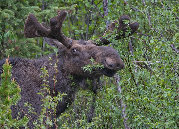 Yellowstone_Moose_061012_0001